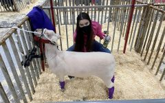 Senior Raquel Bosley applies conditioner to her lamb to ensure that its skin is in perfect condition. She said that these final touches are essential to getting her lamb as near to perfect as possible for the show.