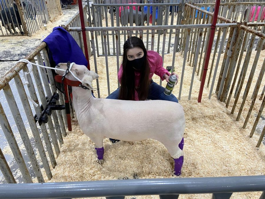 Senior+Raquel+Bosley+applies+conditioner+to+her+lamb+to+ensure+that+its+skin+is+in+perfect+condition.+She+said+that+these+final+touches+are+essential+to+getting+her+lamb+as+near+to+perfect+as+possible+for+the+show.